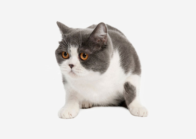 British Shorthair - 9