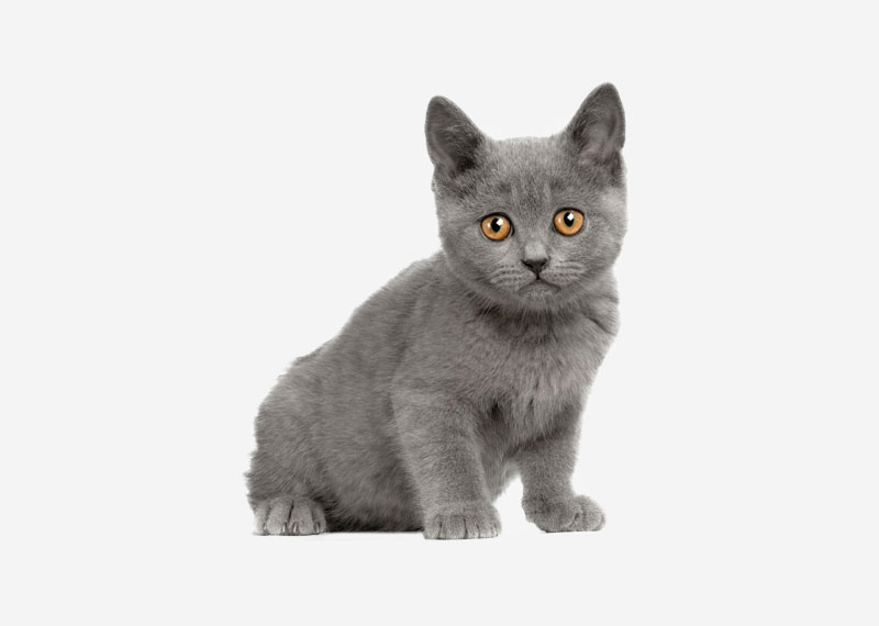 British Shorthair - 10