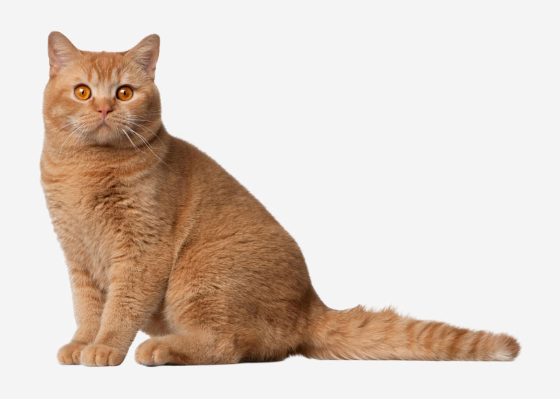 British Shorthair - 11