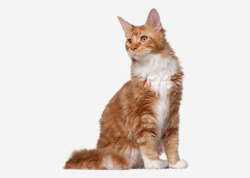 Maine Coon - 8
