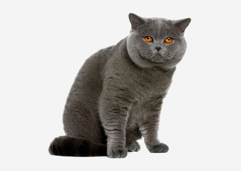British Shorthair - 13