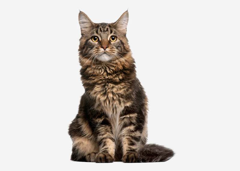 Maine Coon - 10