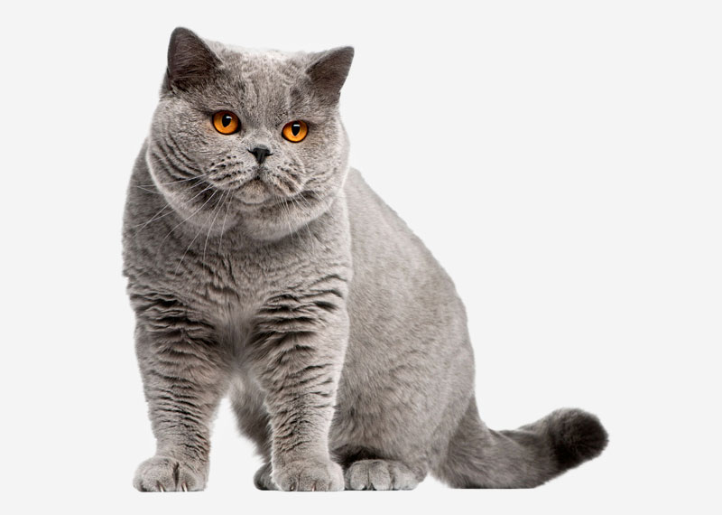 British Shorthair - 14
