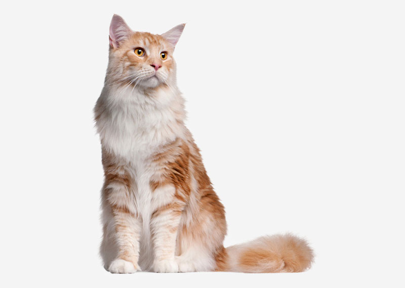 Maine Coon - 12