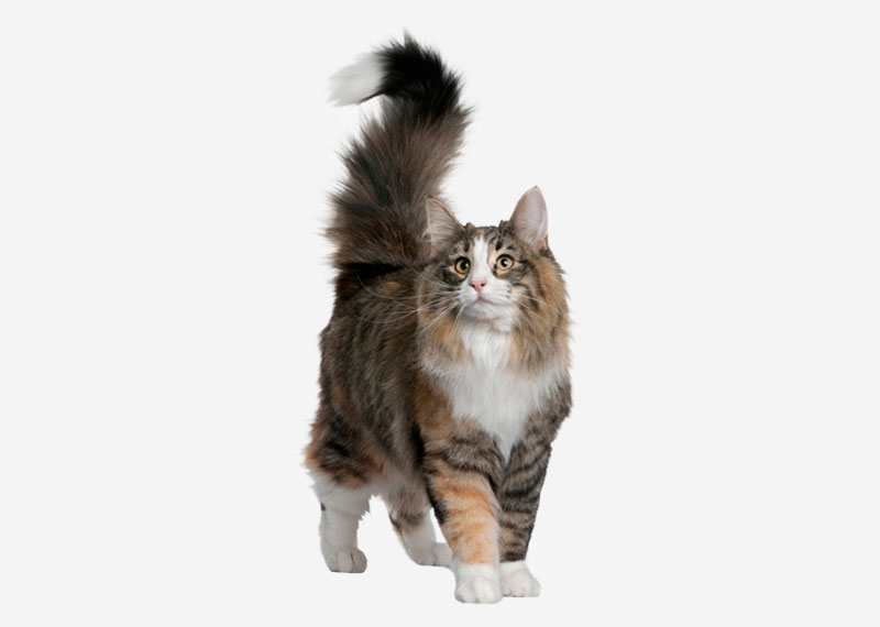 Norwegian Forest Cat - 3