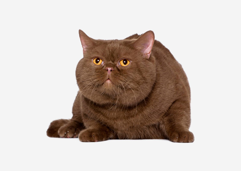 British Shorthair - 15