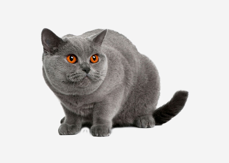 British Shorthair - 16