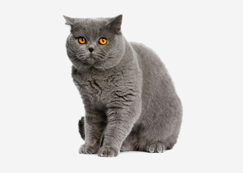 British Shorthair - 18