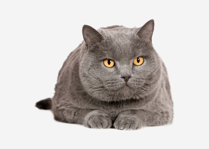 British Shorthair - 19