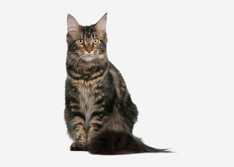 Maine Coon - 14