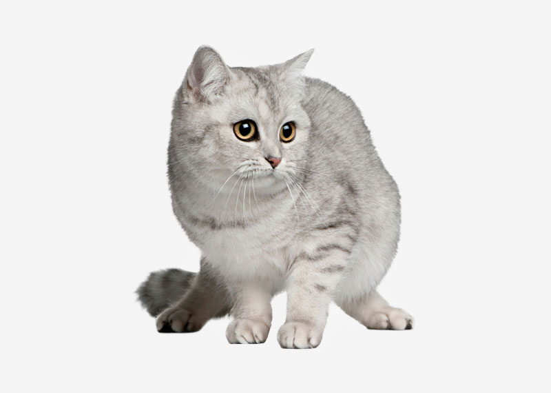 British Shorthair - 20