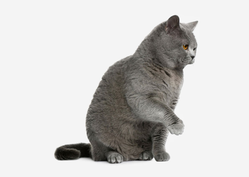 British Shorthair - 21