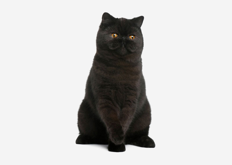 British Shorthair - 22