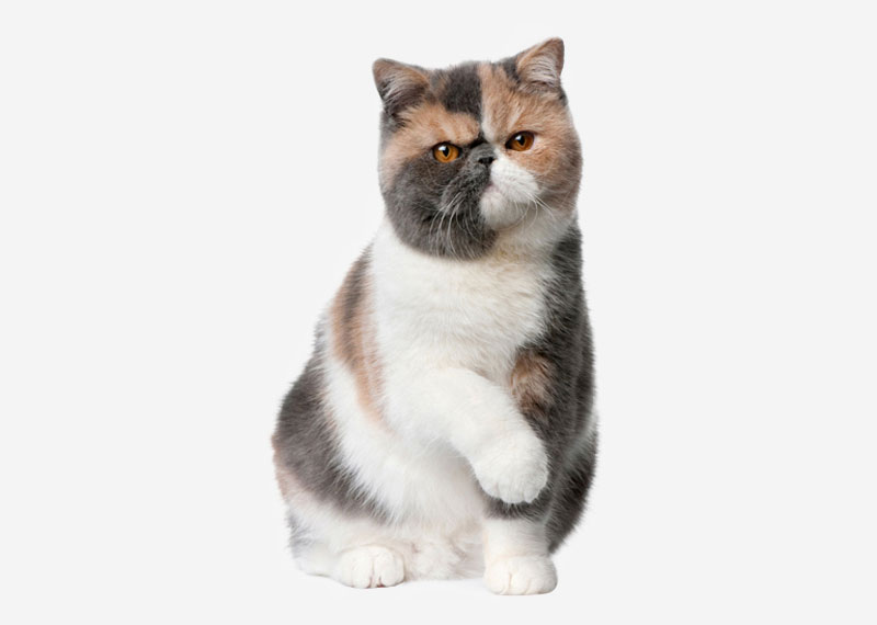 British Shorthair - 1