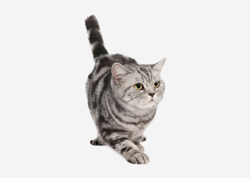 British Shorthair - 25