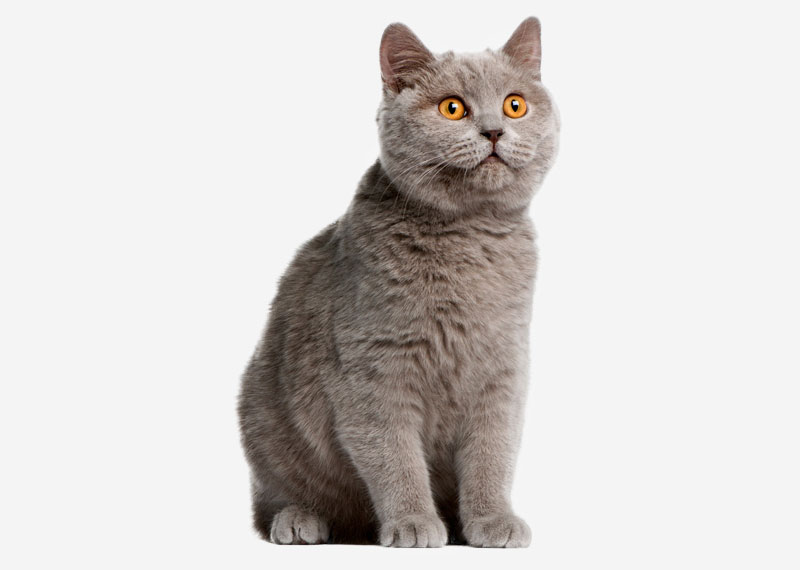 British Shorthair - 27