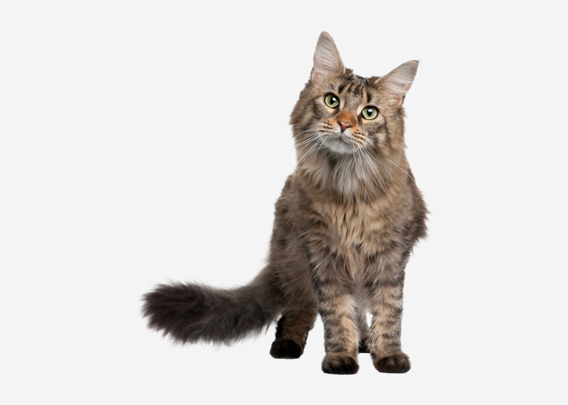 Norwegian Forest Cat - 5