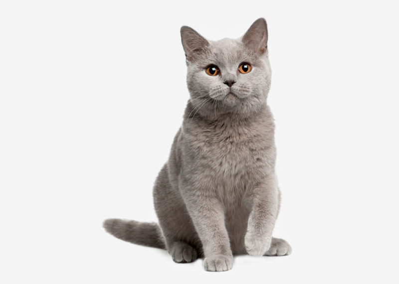 British Shorthair - 3