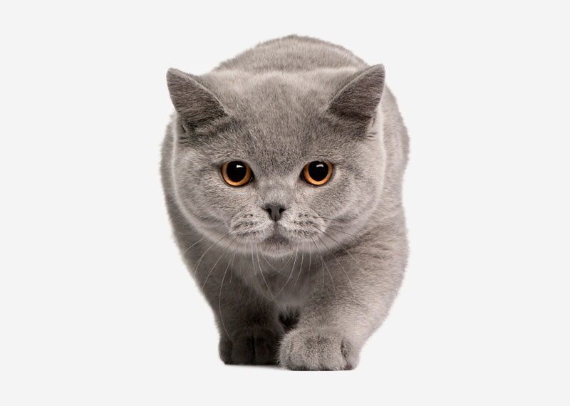 British Shorthair - 28