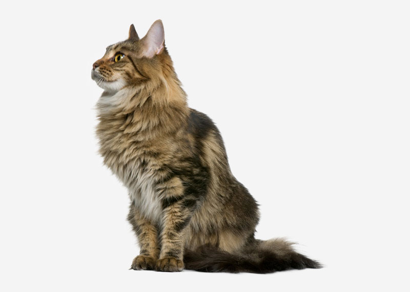 Norwegian Forest Cat - 6