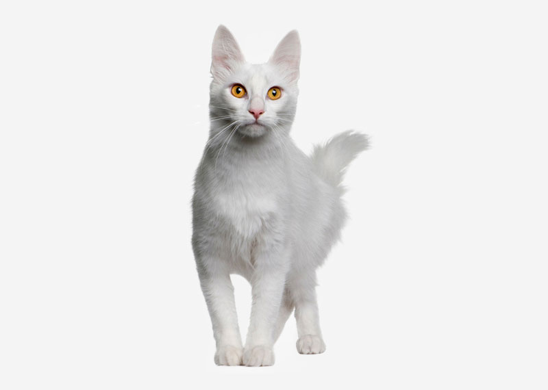 Turkish Angora - 4