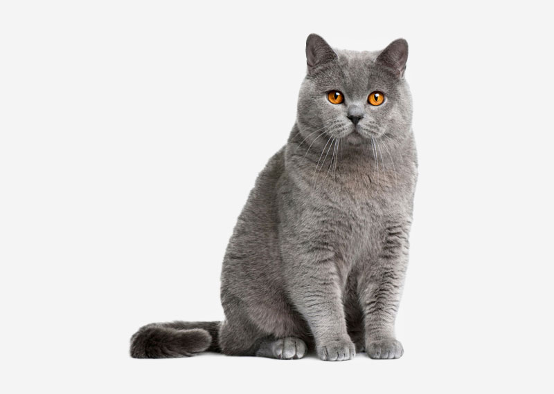 British Shorthair - 30