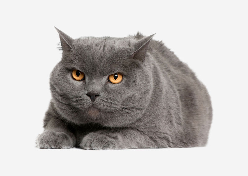 British Shorthair - 31