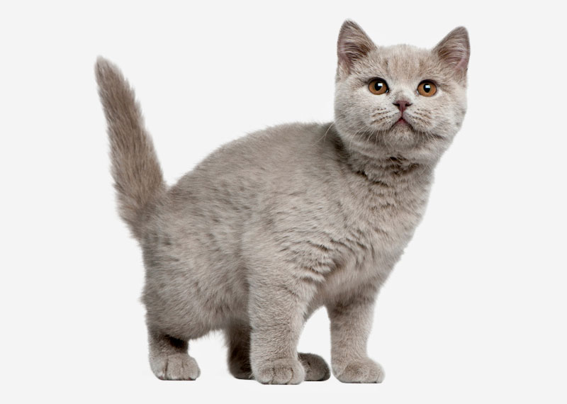 British Shorthair - 32