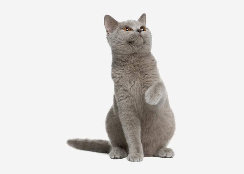 British Shorthair - 34