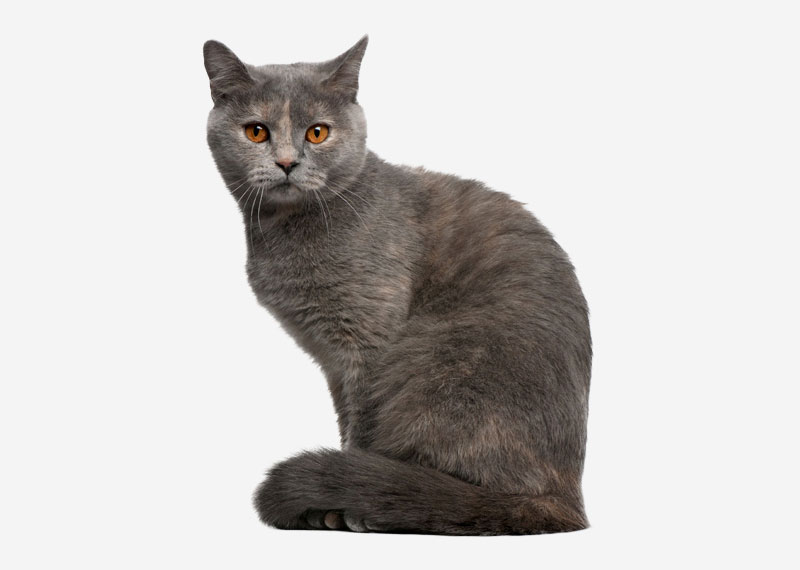 British Shorthair - 35