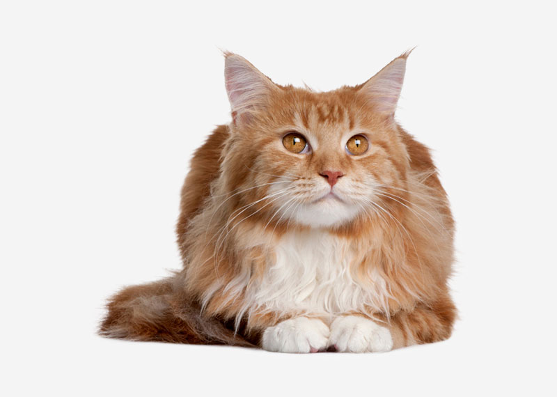 Maine Coon - 22