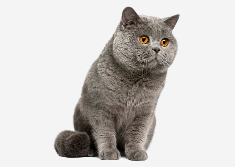 British Shorthair - 36
