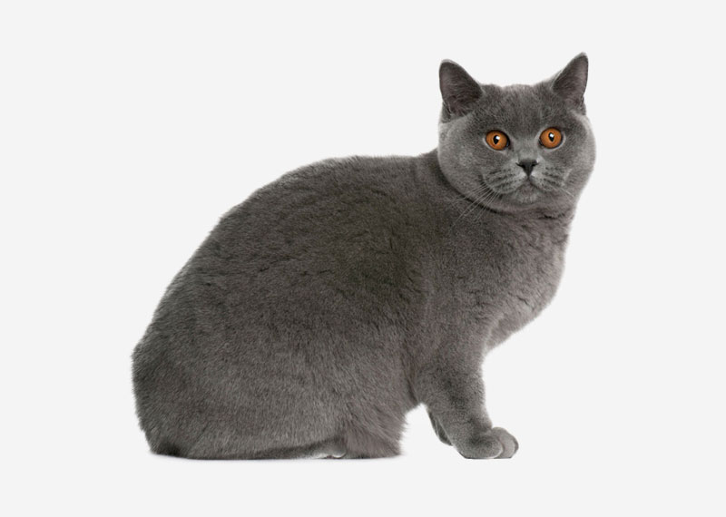 British Shorthair - 37