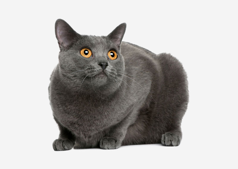 British Shorthair - 38