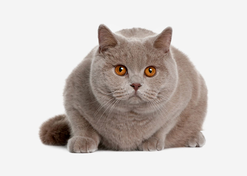 British Shorthair - 39