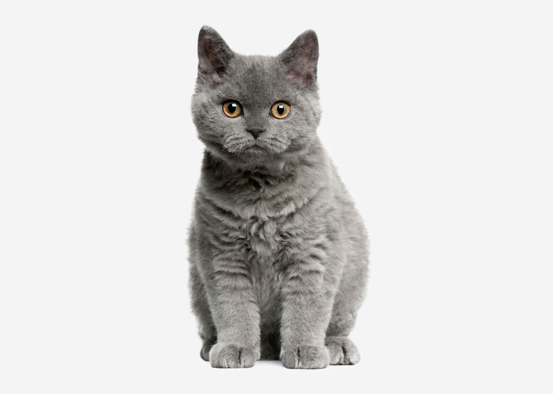 British Shorthair - 41