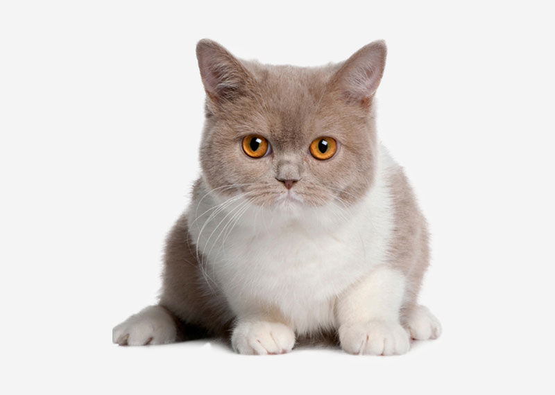 British Shorthair - 4