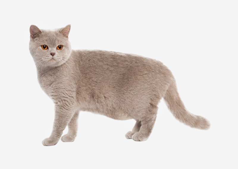 British Shorthair - 5