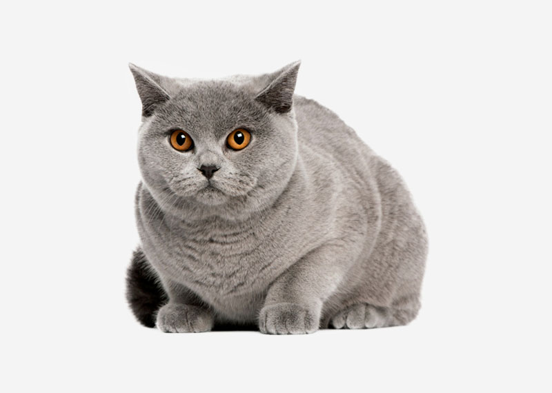 British Shorthair - 6
