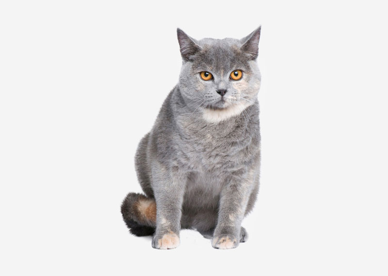British Shorthair - 7