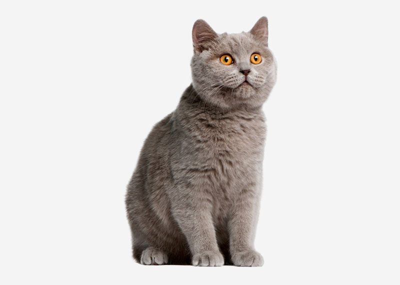 British Shorthair - 8