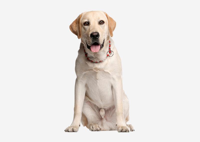 Most Popular Registered Dog Breeds In Australia