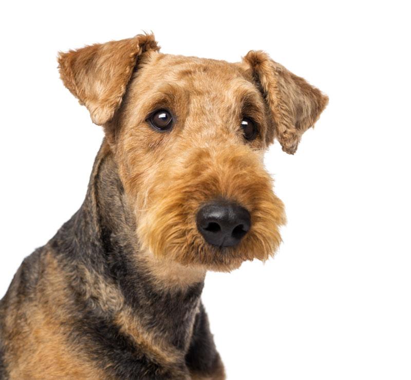 Europetnet Airedale Terrier