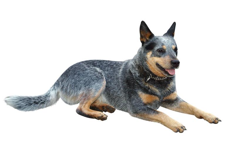 Europetnet - Australian Cattle Dog