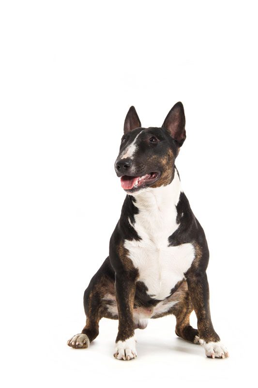 Europetnet Bull Terrier Miniature