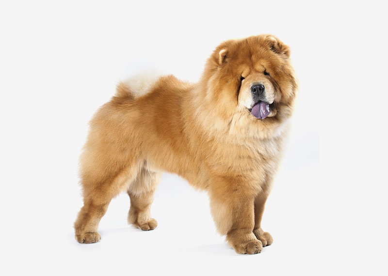 Dog Breed With Thin Curled Tail